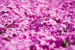 Violet flowers field Stock Images