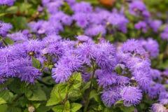 Violet flowers of flossflower stock images