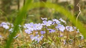 Violet flowers in the forest.  stock video footage