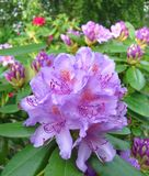 Lavender Rhododendrons in Garden. Rhododendrons or azaleas, an ornamental shrub in garden in Trondheim, Norway Stock Photos