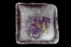 Violet flowers frozen at ice Stock Image