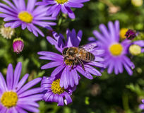 Violet flowers in the garden/a bee. This image shows a garden with some violet flower and a bee on one of them Royalty Free Stock Photo