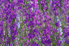 Violet flowers in garden Stock Photography