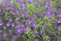 Violet flowers in the garden Royalty Free Stock Photos