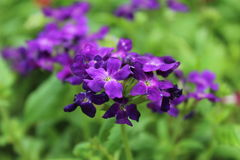 Violet flowers in garden the good nature. Relaxing, take photos beautiful violet flowers in garden Royalty Free Stock Photos
