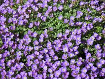 Violet flowers in garden, lithuania Royalty Free Stock Photo
