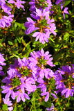 Violet flowers in the garden shined at sun Royalty Free Stock Photo