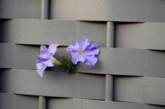 Violet flowers on a gray fence Royalty Free Stock Photos