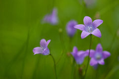 Violet flowers on green background Royalty Free Stock Photography