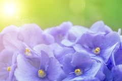 Violet flowers. Royalty Free Stock Image