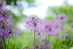 Violet flowers in the green field royalty free stock image