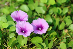 Violet flowers and green grass on the beach Royalty Free Stock Photos