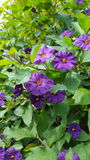 Violet flowers with green leaves. Beautiful violet flowers with green leaves Stock Image