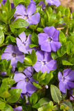 Violet flowers with green leaves (Vinca major) Stock Photography