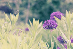 Violet flowers on green meadow in summmer time in pastel muted t Royalty Free Stock Image