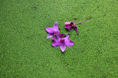 Violet flowers on green Salvinia background Stock Photography