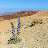 Violet flowers growing in the caldera of a El Teide volcano Stock Photo