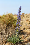 Violet flowers growing in the caldera of a El Teide volcano Royalty Free Stock Photo