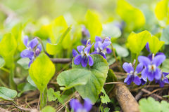 Violet flowers growing in the meadow Royalty Free Stock Photos