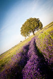 Violet flowers and holm oak in a sunny day Royalty Free Stock Photo