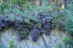 Violet Flowers Inside um eucalipto Forest In The Meadows Of as montanhas de Galiza O curso floresce a natureza foto de stock