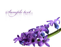Violet flowers isolated Stock Image