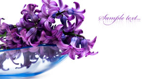 Violet flowers isolated Stock Images