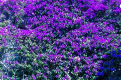 Violet flowers ivy in a summer day in French Riviera. Cote d`Azur French Riviera is situated in the southern eastern part of the mediterranean coast of France stock image