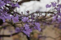Jacaranda. The violet flowers of the Jacaranda Tree blooming in a park in Malaga, Spain Royalty Free Stock Images