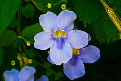Violet flowers in La Mortella botanical garden, Ischia, Italy Royalty Free Stock Photography