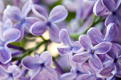 Violet flowers of lilac Royalty Free Stock Photo