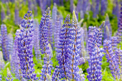 Violet flowers a lupine Royalty Free Stock Photo