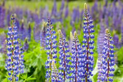 Violet flowers a lupine Stock Photos