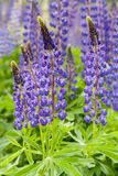 Violet flowers a lupine Royalty Free Stock Photography
