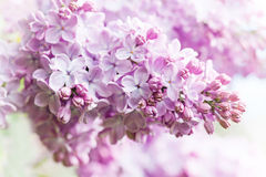 Violet flowers macro view. lilac flower background closeup. Soft focus, shallow depth of field Stock Photos