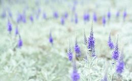 Violet flowers. Royalty Free Stock Photos