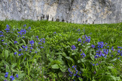 Violet flowers in the meadows with rocks on the background, Corno of mount Catria, Apennines, Marche, Italy. Violet flowers in the green meadows with rocks on Royalty Free Stock Images