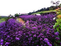 Violet flowers on the mountain. S Royalty Free Stock Image
