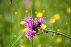 Violet flowers on a mountain plain close-up stock images