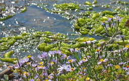 Violet flowers near the water stream Stock Photos