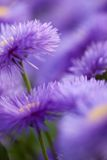 Violet flowers for nice pattern. Violet camomile daisy floral background Stock Photo