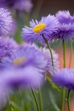 Violet flowers for nice pattern. Violet camomile daisy floral background Royalty Free Stock Photos
