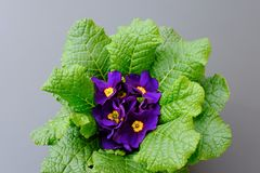 Violet flowers overhead on black background stock photo