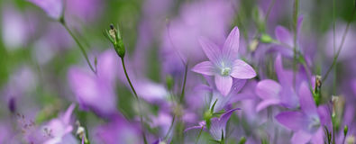 Violet flowers panorama Stock Photography
