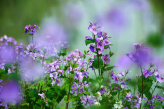 The violet flowers Royalty Free Stock Photography