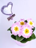 Violet flowers in pink pot with heart badge Stock Photo