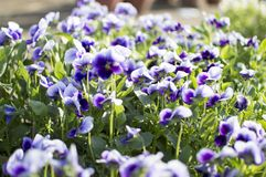 Violet flowers and plants Royalty Free Stock Images