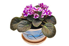 Violet flowers in a pot Stock Images