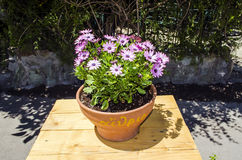Violet Flowers  in the pot. Violet flower in the pot Stock Photography