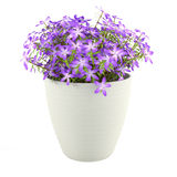 Violet flowers in the pot Royalty Free Stock Images
